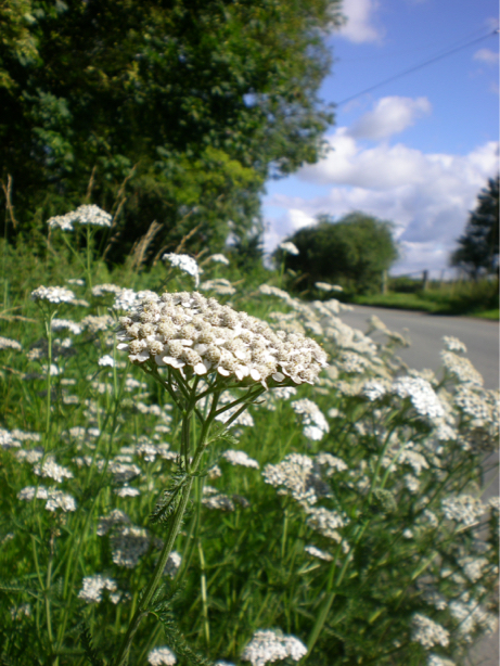 Plantlife campaign to save our road verge